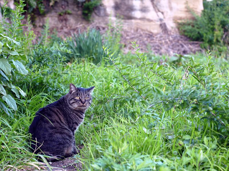 草むらのキジトラ猫