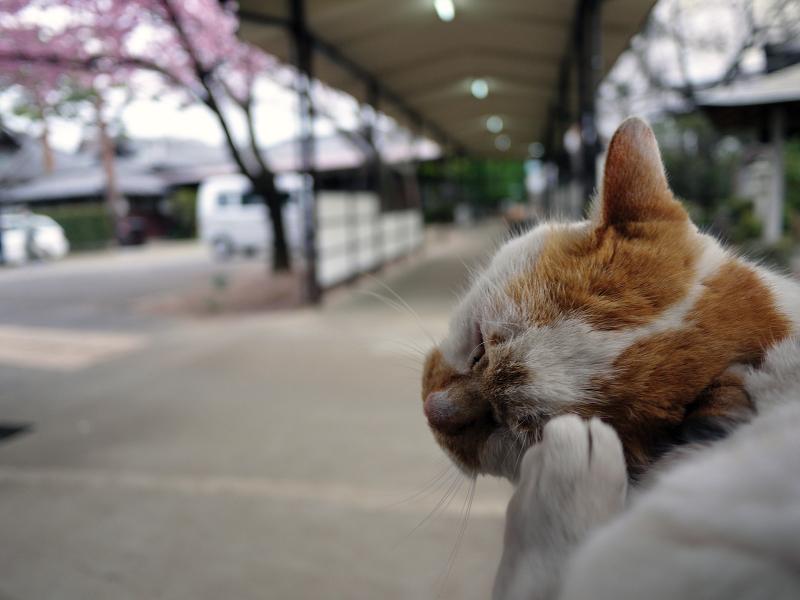 カンザクラと猫