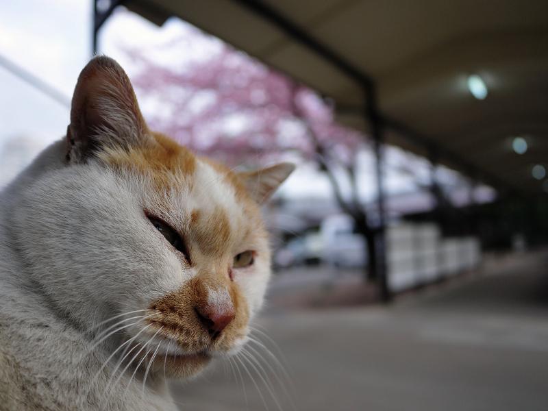 カンザクラと猫2