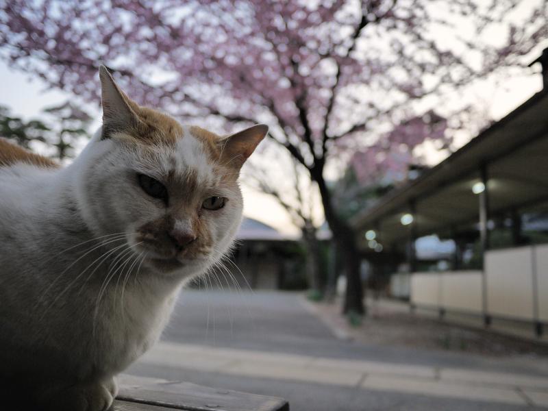 カンザクラと猫3