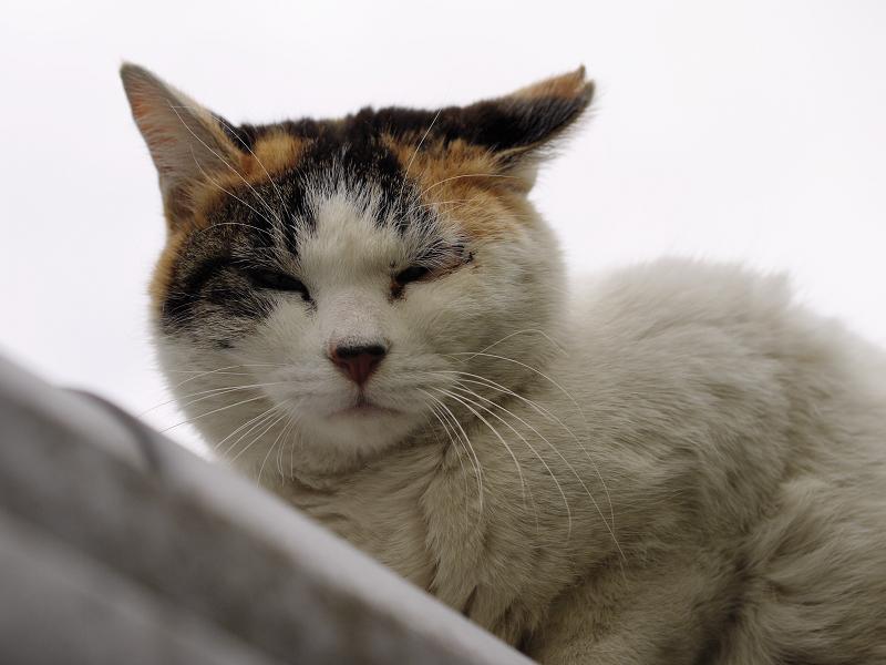 曇り空の三毛猫