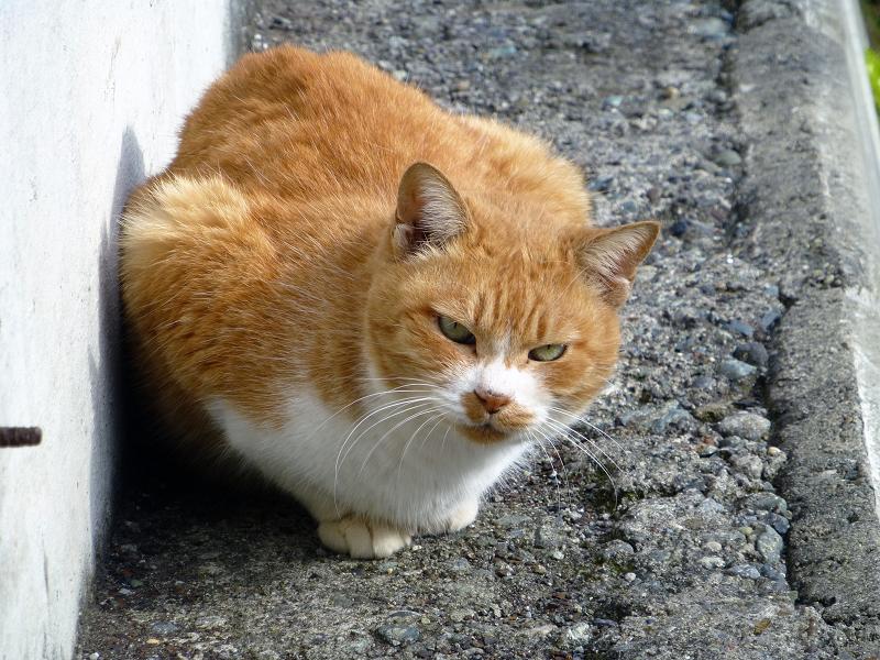 壁の横の茶白猫の睨み顔