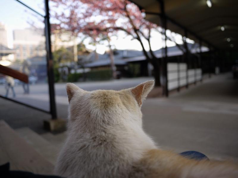 寒桜と猫1