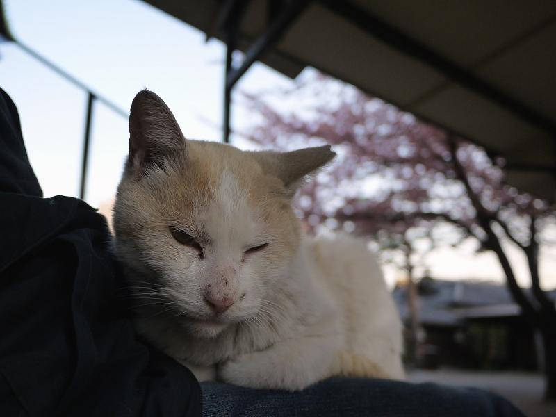 寒桜と猫2