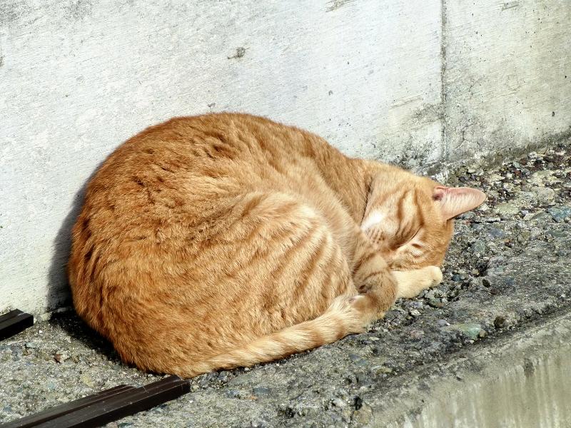 壁の横の茶トラネコの寝顔