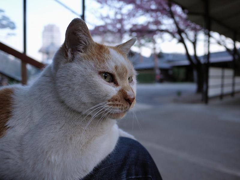 膝に乗る猫と春1