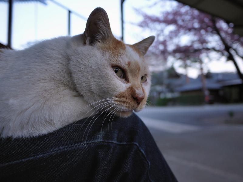 膝に乗る猫と春2