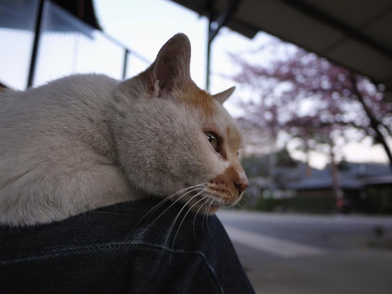 膝に乗る猫と春3