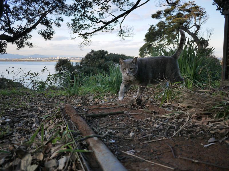 空き地を歩く猫