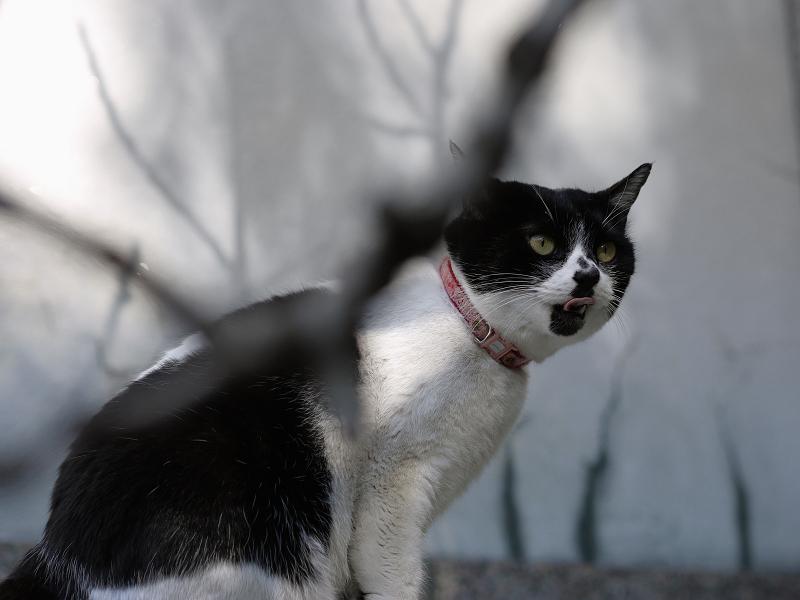 ベロを出す白黒猫