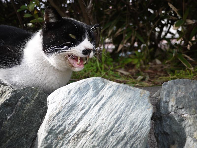 茂みで鳴くネコ