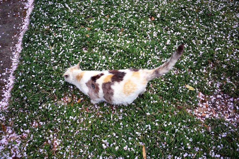春の芝生と猫1