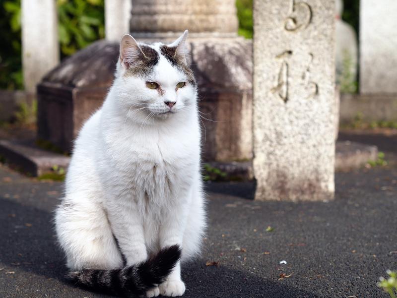 玉垣と白キジ猫