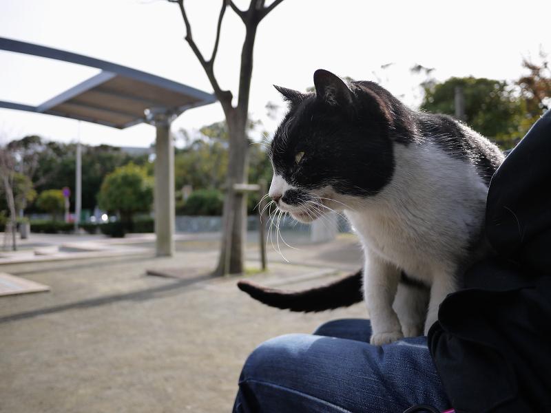 膝の上に乗ってるネコ