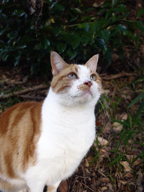 空を見上げる茶白猫