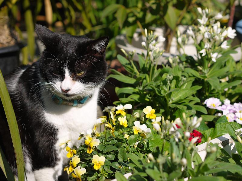 季節の花と黒白猫