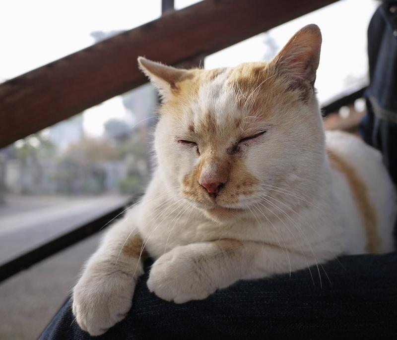 膝に乗って目を閉じる猫