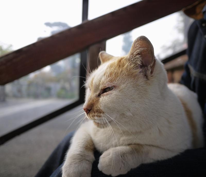 膝に乗って薄目を開ける猫
