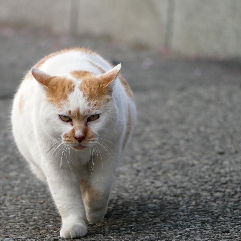 耳を立てて近づく猫1