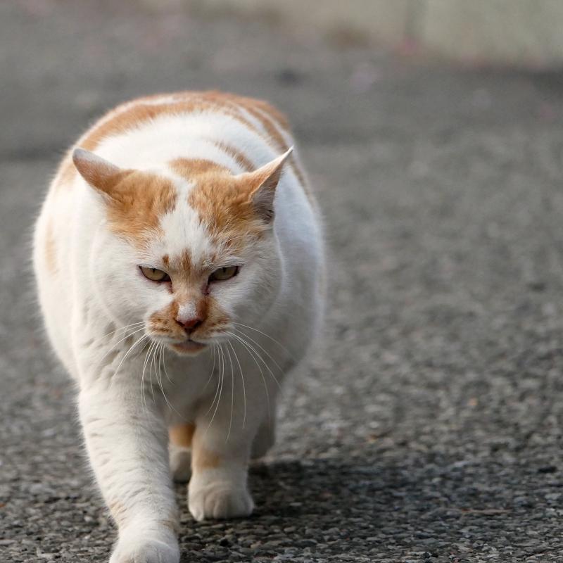 耳を立てて近づく猫3