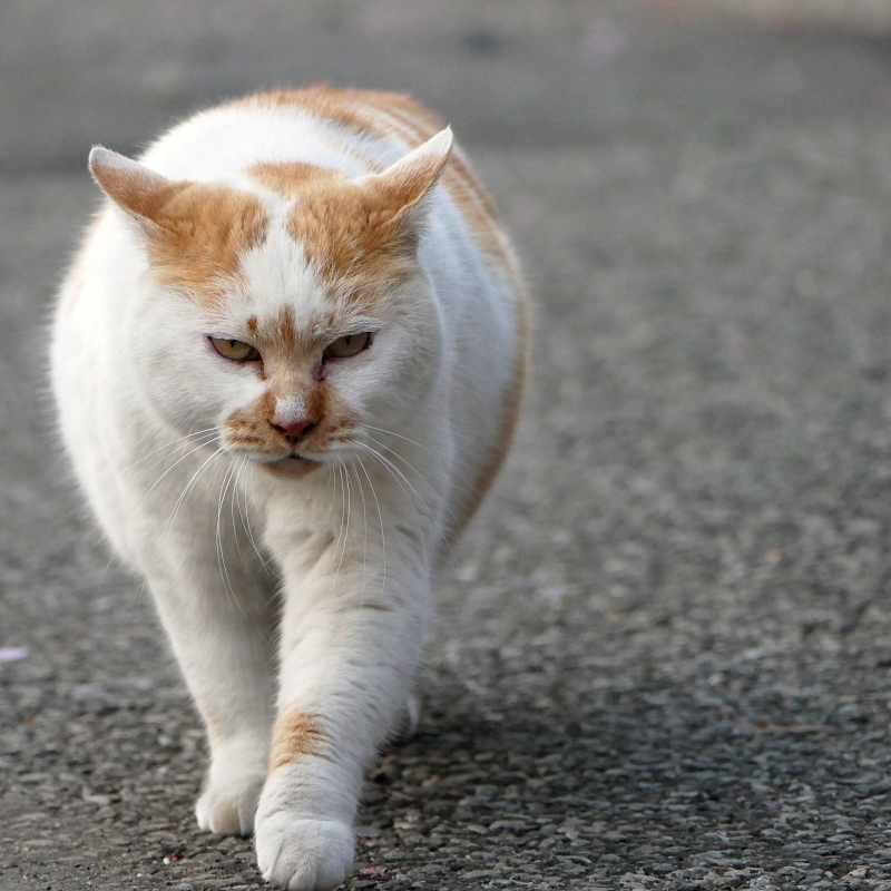 耳を立てて近づく猫4