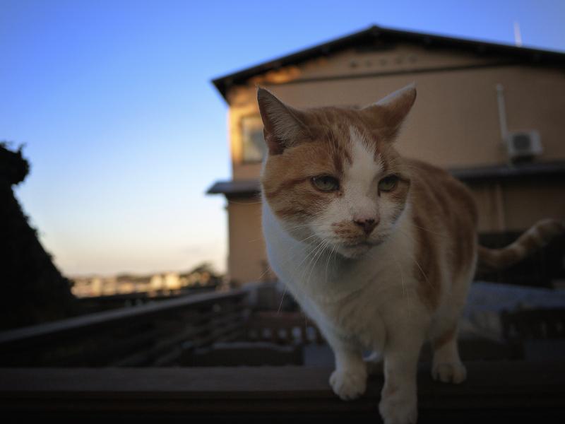 お店のベランダ席の茶白猫
