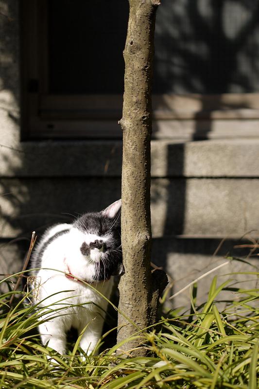 木の幹に擦りつける猫1