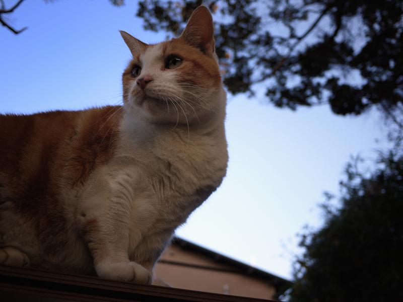 お店のテラス席の茶白猫
