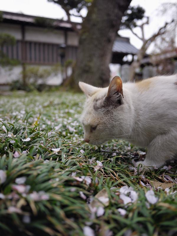 春の薫りを嗅ぐ猫1