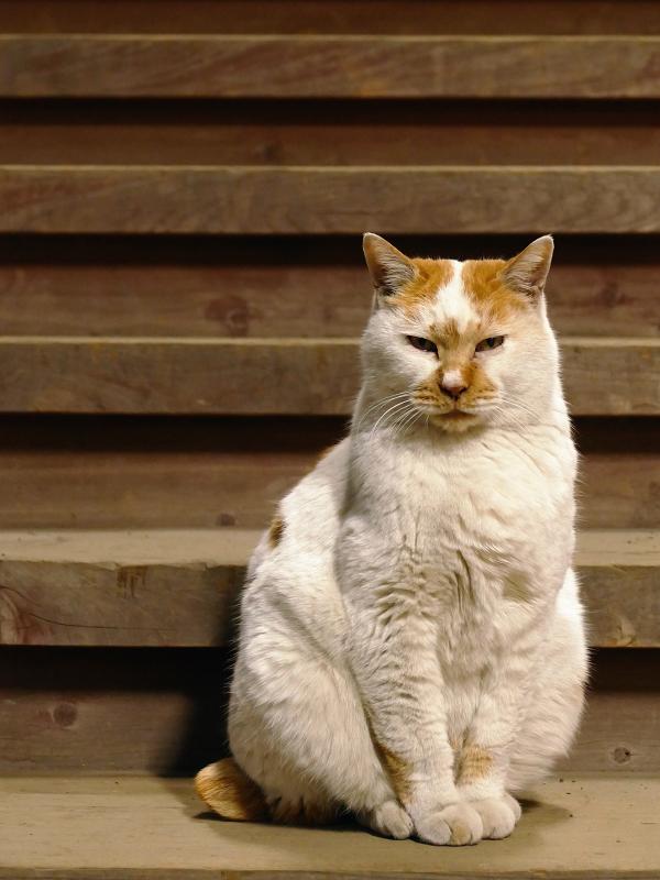 階段と茶白猫