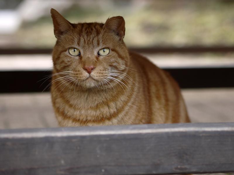 ベンチの下でベロを出す猫
