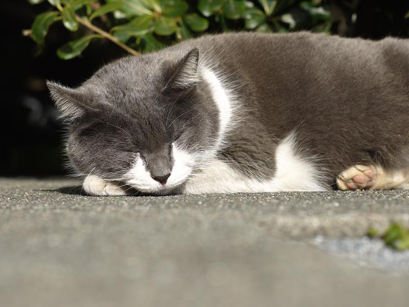 手枕で寝てるグレー白ネコ