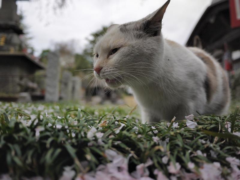 春の匂いに興奮する猫1