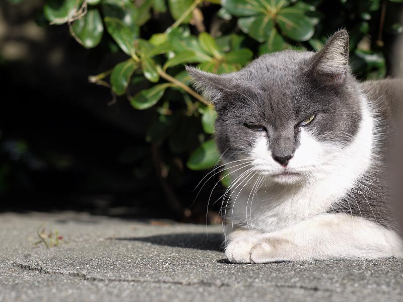 寝起き顔で睨むグレー白猫