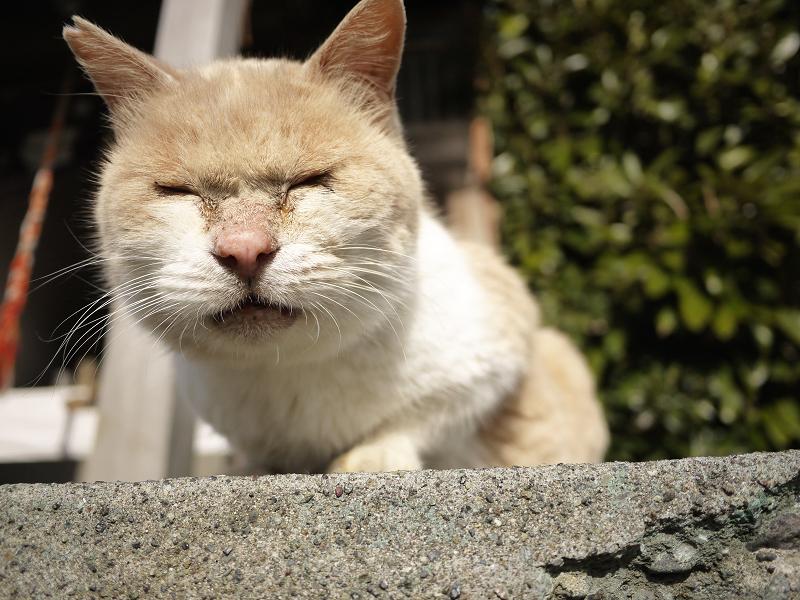 寝ぼけ顔で鳴くネコ