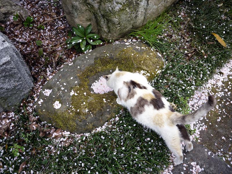 体を伸ばして桜水を見てる猫