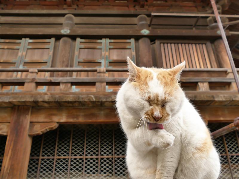 本堂の横でベロを出す猫をローアングルで