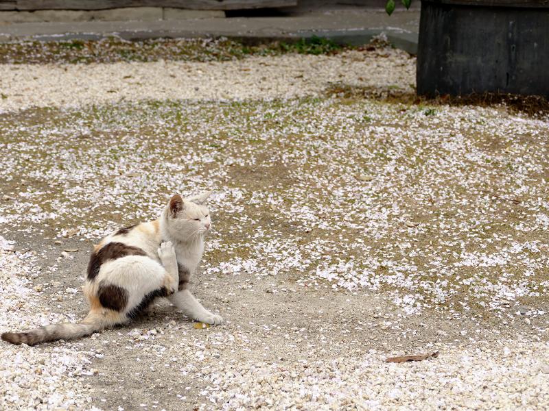 桜散る空き地と猫1