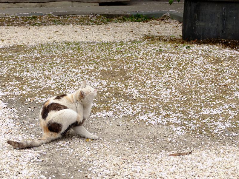 桜散る空き地と猫2