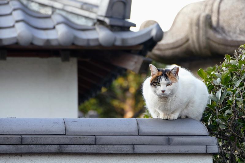 塀の上の白三毛猫