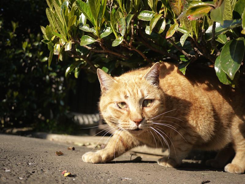 茂みの下で構える猫