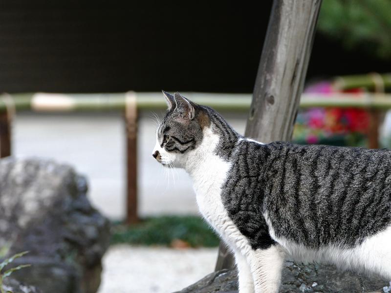 遠くを真剣に見つめるサバ白猫