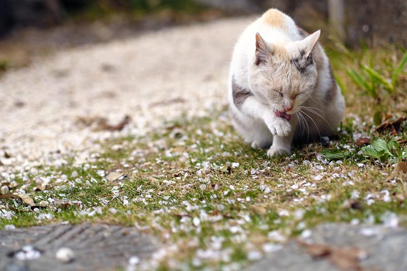 桜落ち葉とベロ出し猫1