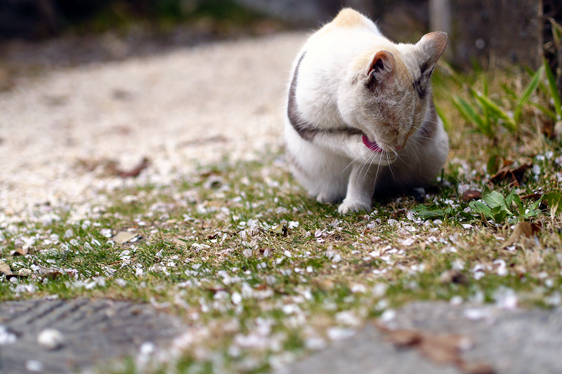 桜落ち葉とベロ出し猫2