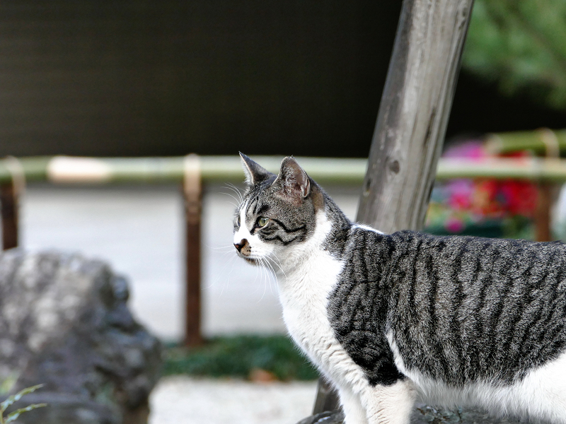 キリリ顔で見ているサバ白猫