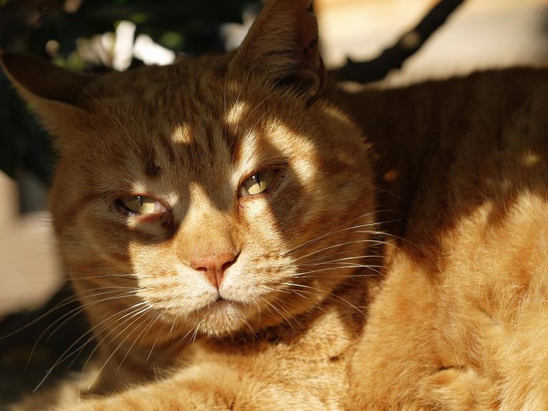 ドヤ顔風で睨む猫