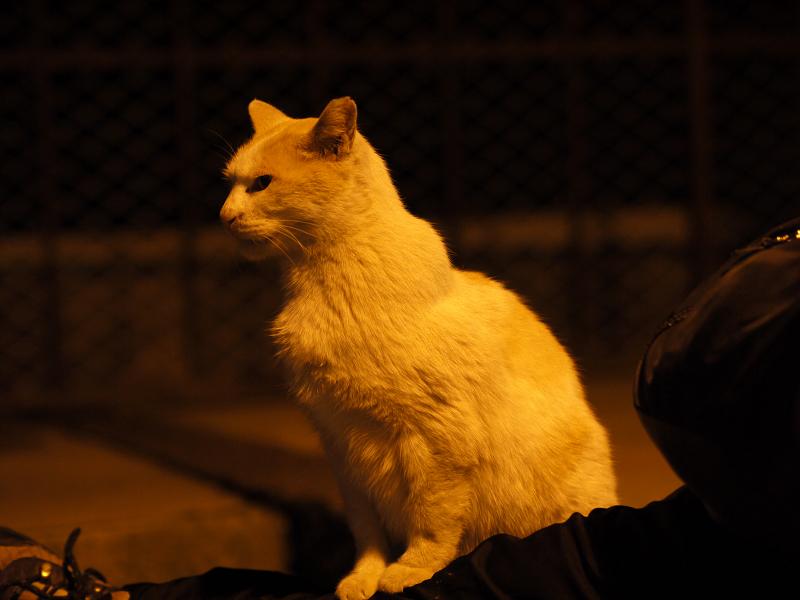 夕暮れに膝に乗ってる白茶猫