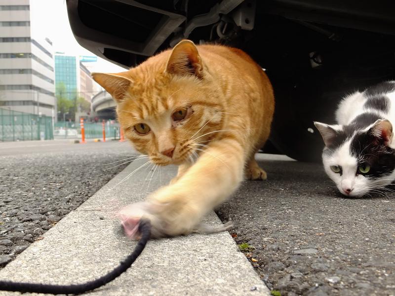 ネズミを捕まえる猫見てる猫