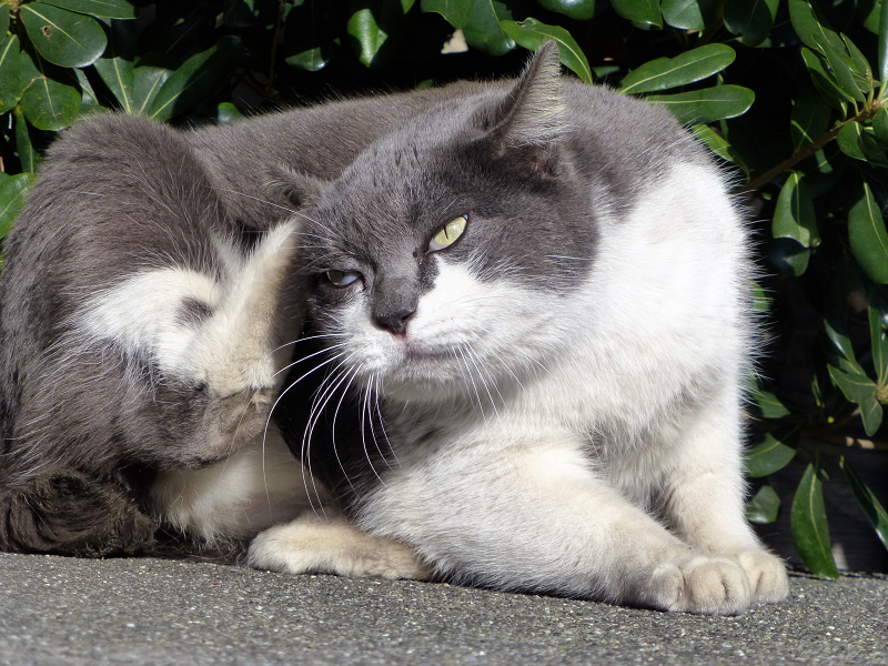 カキカキグレー白ネコ2