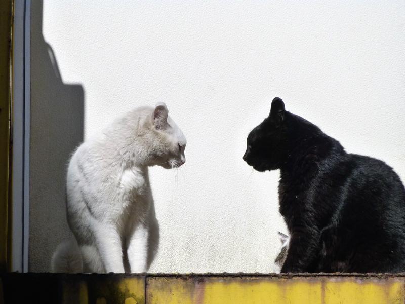 睨み合ってる白猫と黒猫